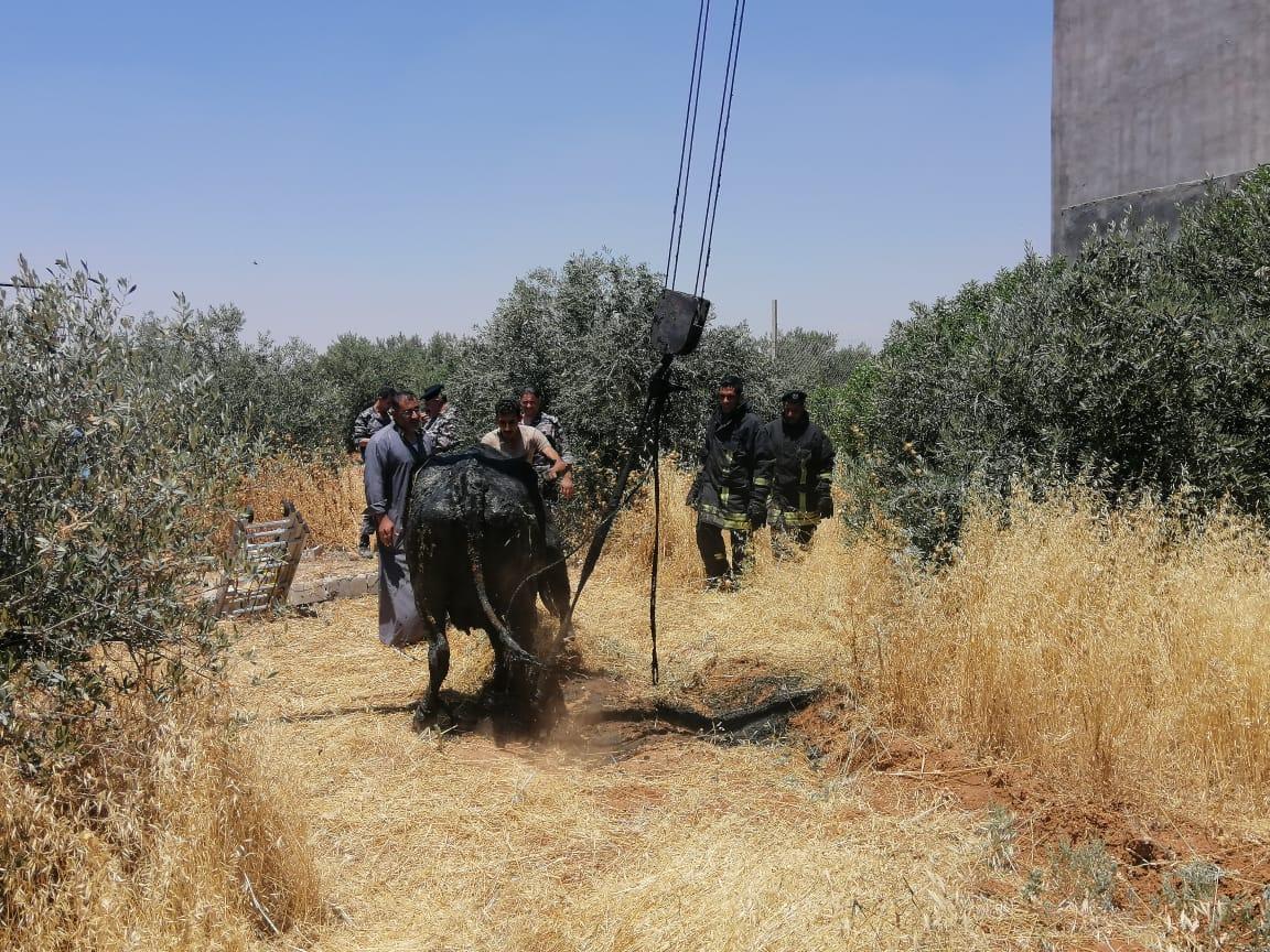 """صورة الدفاع المدني ينقذ بقرتين من داخل حفرة  باربد """"صور"""""""