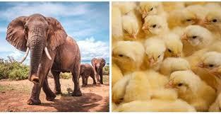 """صورة لماذا يتم وضع  """"كتاكيت"""" مع الفيلة بنفس القفص !!"""